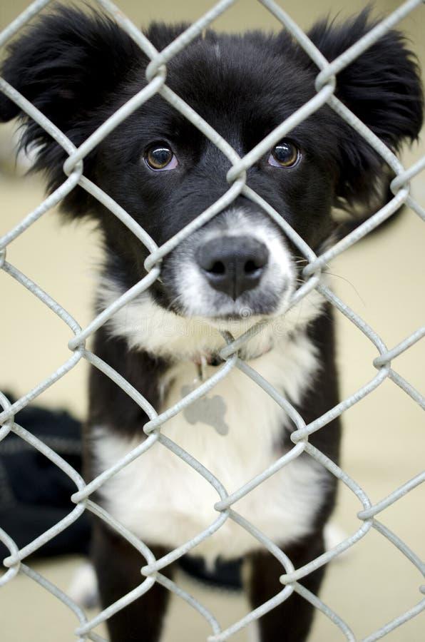 Cachorrinho macio de border collie na libra de cão do canil do elo de corrente imagem de stock