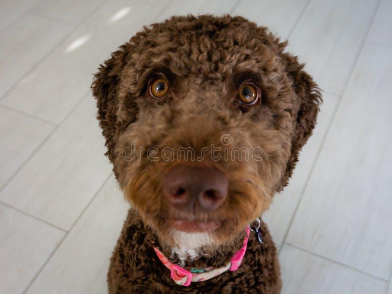 Cachorrinho marrom do labradoodle do chocolate fotografia de stock