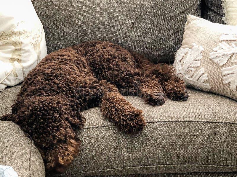 Cachorrinho marrom do labradoodle do chocolate fotos de stock royalty free