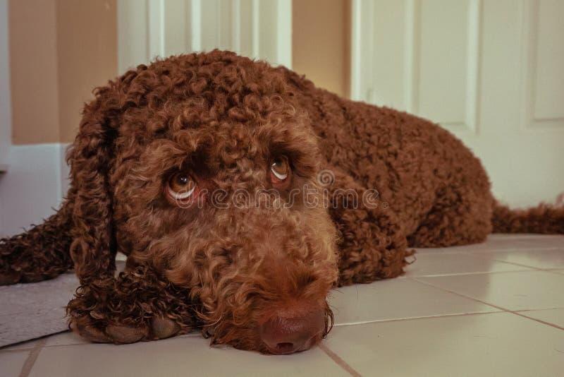 Cachorrinho marrom do labradoodle do chocolate imagens de stock