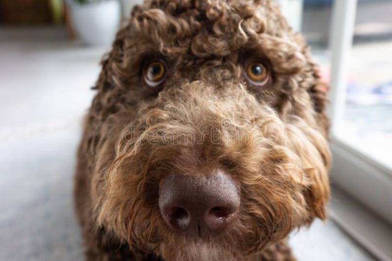 Cachorrinho marrom do labradoodle do chocolate fotografia de stock royalty free