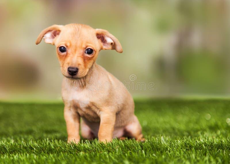 Cachorrinho minúsculo que senta-se na grama foto de stock royalty free