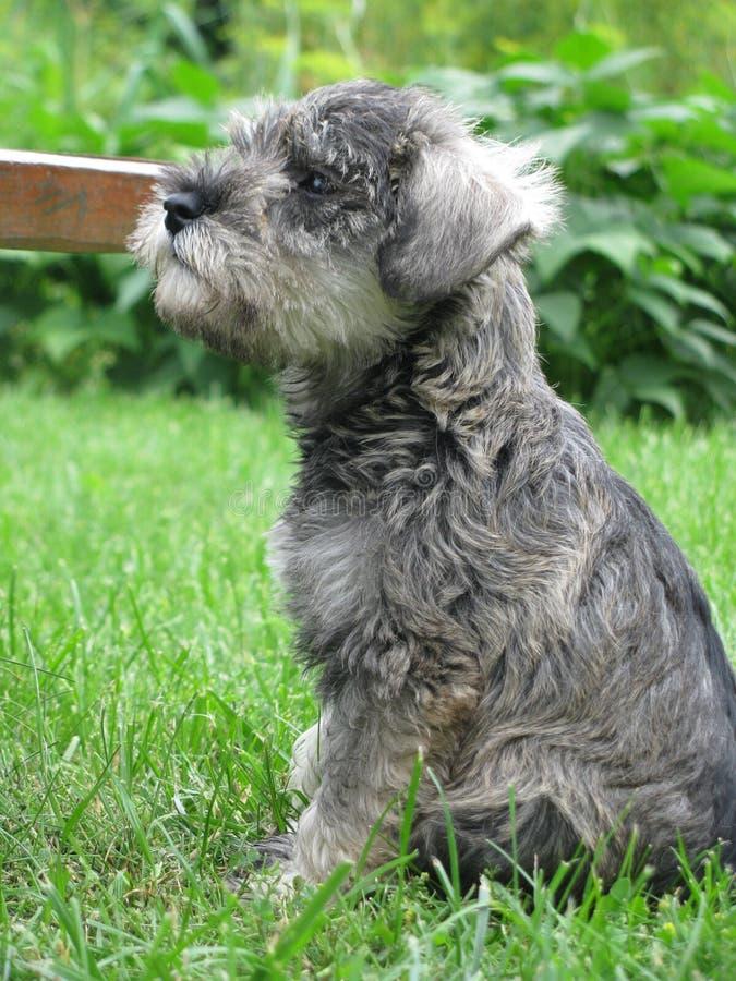 Cachorrinho muito pequeno, doce - schnauzer diminuto que senta-se em um jardim na grama verde 2 foto de stock