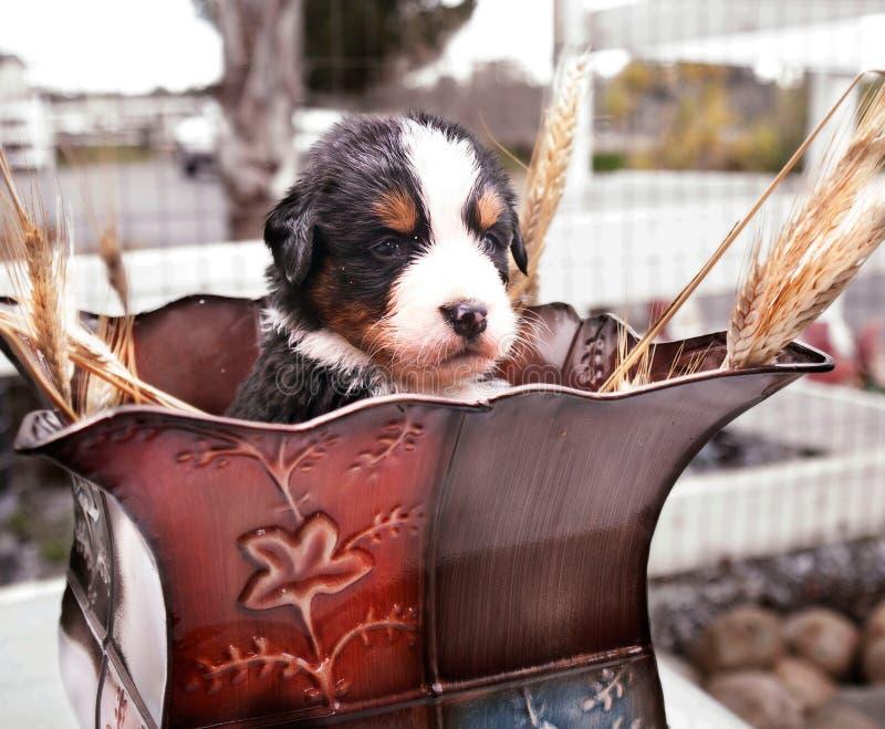 Cachorrinho nos Foxtails fotos de stock