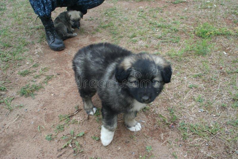 Cachorrinho pequeno am?vel com patas brancas - filho de um pastor grande foto de stock