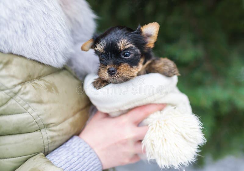 Cachorrinho pequeno bonito de yorkshire nas mãos do ` s da mulher fotografia de stock royalty free