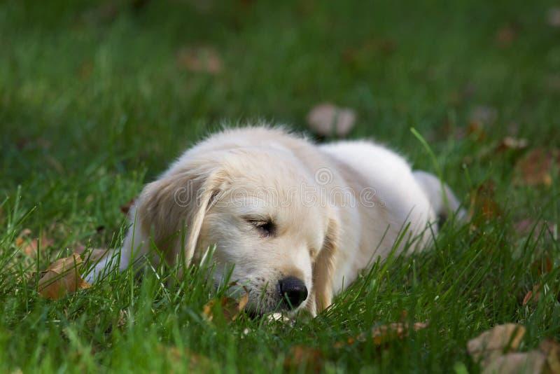 Cachorrinho pequeno do golden retriever na queda foto de stock royalty free