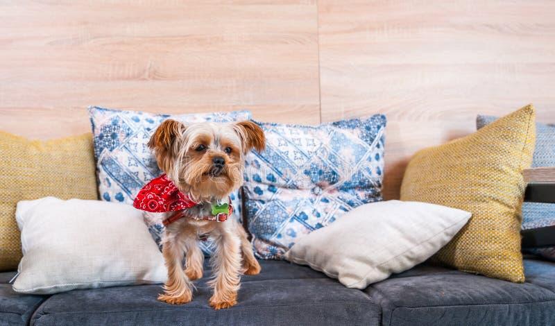 Cachorrinho pequeno do yorkshire terrier do cão marrom bonito e bonito que escala nos descansos do sofá fotografia de stock royalty free