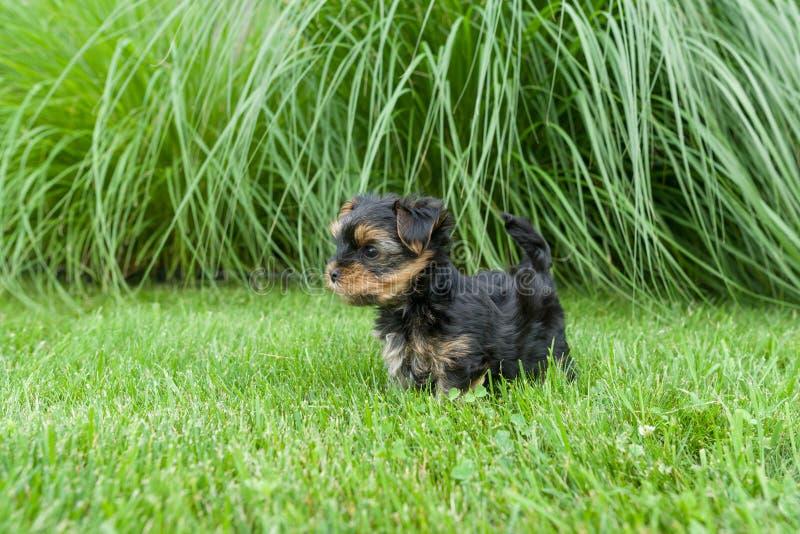 Cachorrinho pequeno do yorkshire terrier que tem o divertimento na grama foto de stock royalty free