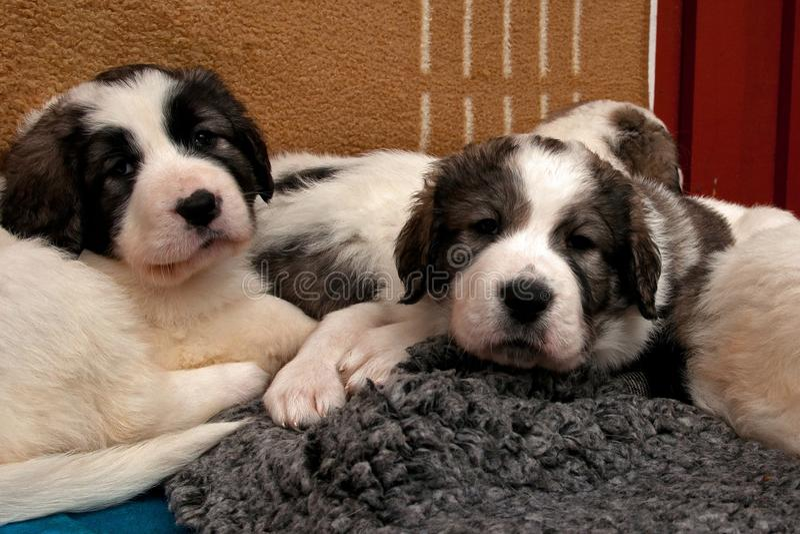 Cachorrinho pirenaico do mastim 5 semanas fotografia de stock