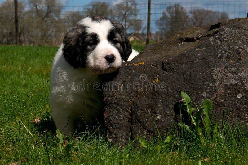 Cachorrinho pirenaico do mastim 5 semanas imagem de stock royalty free