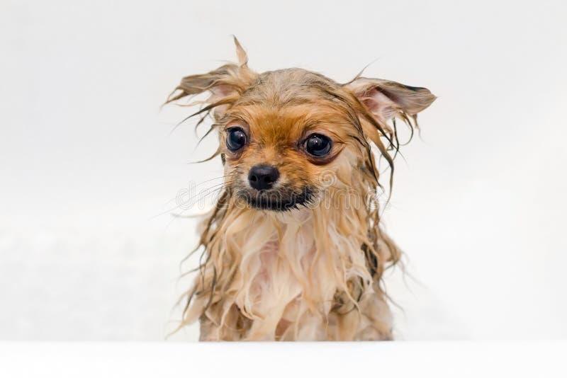 Cachorrinho pomeranian do cão pequeno que toma um banho fotos de stock