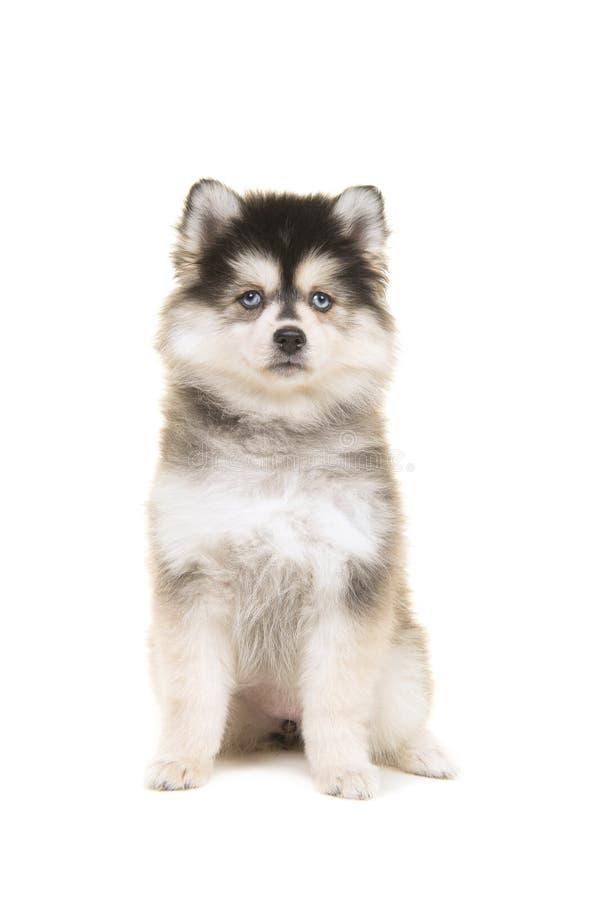Cachorrinho pomsky bonito que senta e que olha a câmera imagem de stock