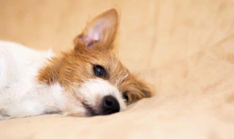 Cachorrinho preguiçoso bonito do cão de estimação do terrier de russell do jaque que escuta fotos de stock royalty free