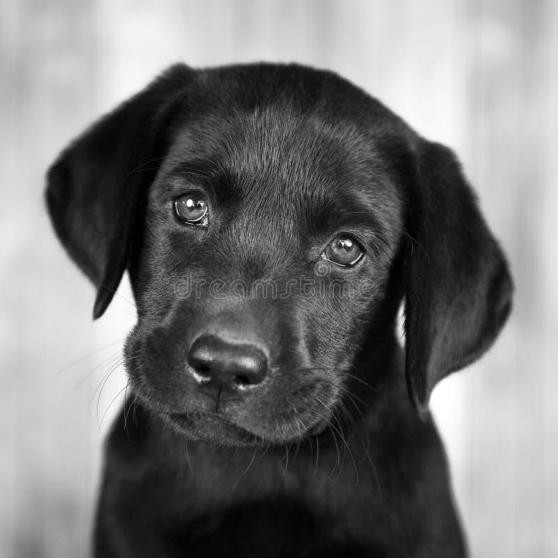 Cachorrinho preto bonito de Labrador foto de stock royalty free