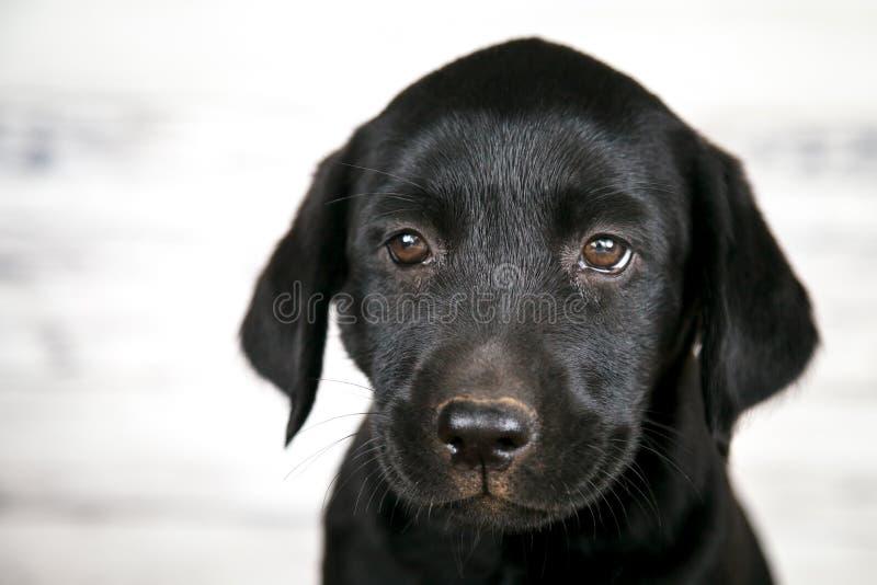 Cachorrinho preto bonito de Labrador fotos de stock