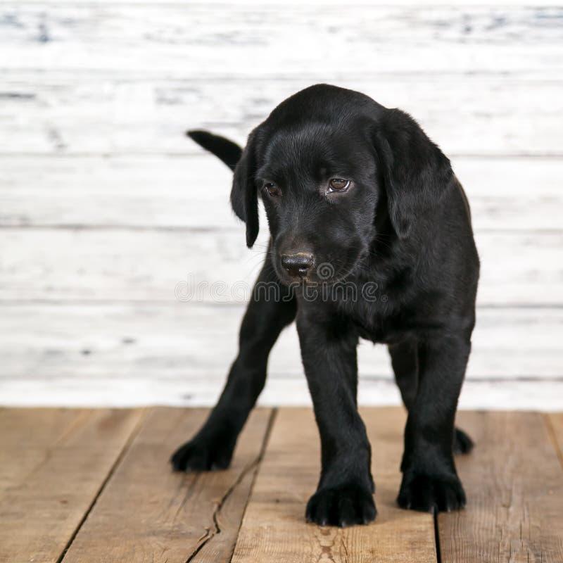 Cachorrinho preto bonito de Labrador fotografia de stock royalty free