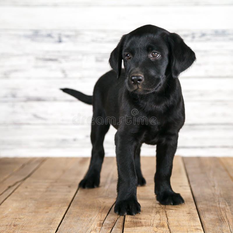 Cachorrinho preto bonito de Labrador fotos de stock royalty free