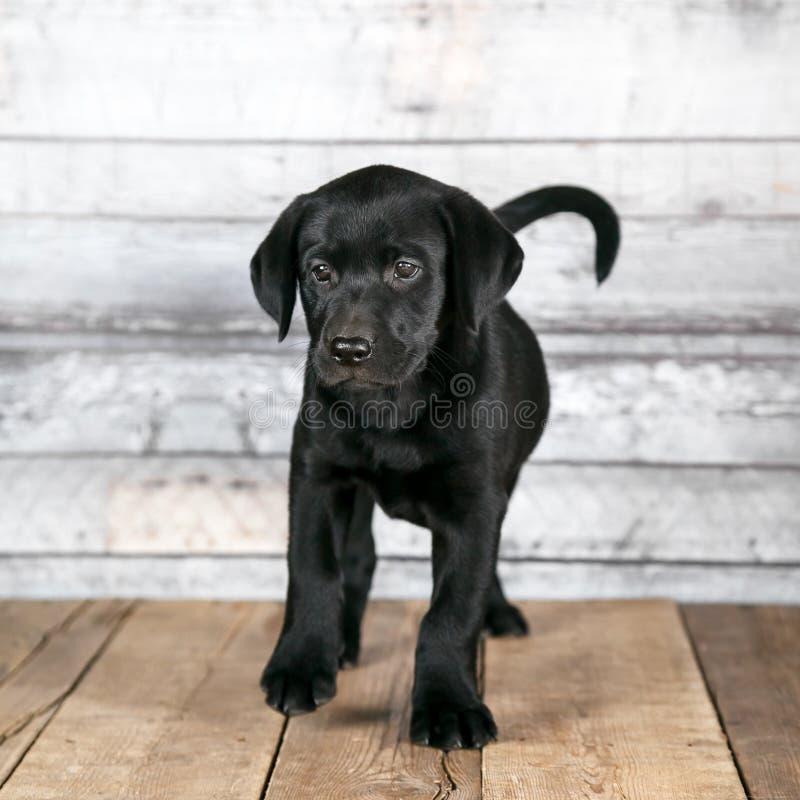 Cachorrinho preto bonito de Labrador imagens de stock royalty free