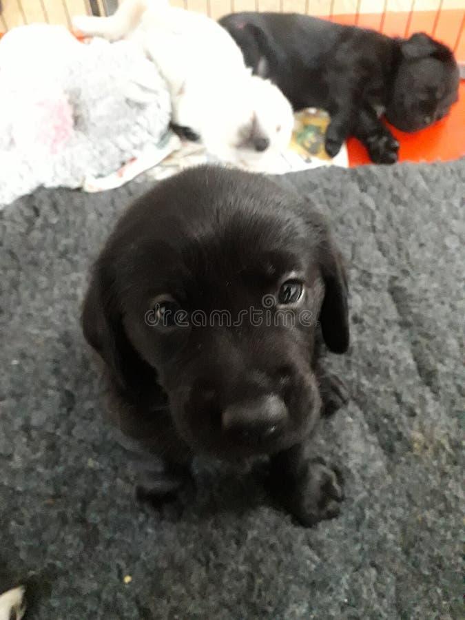 Cachorrinho preto bonito de Labrador que senta-se no tapete fotos de stock