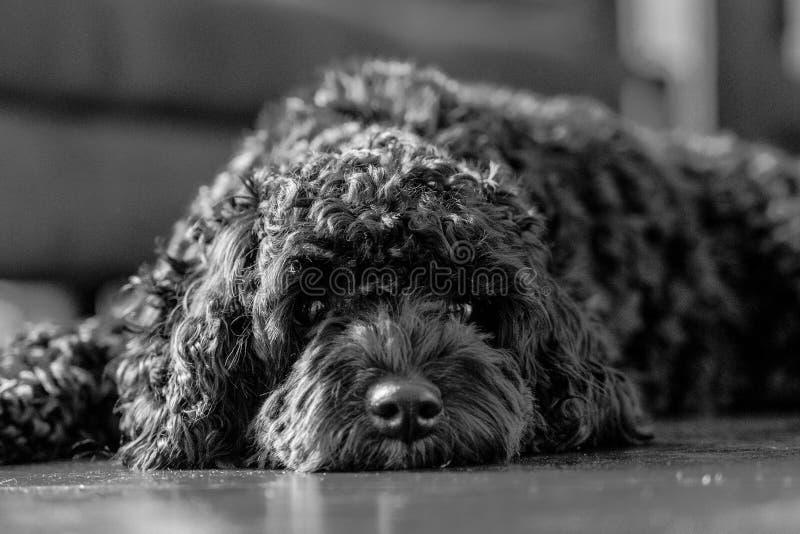 Cachorrinho preto de Cavoodle que encontra-se olhando a câmera em preto e branco imagem de stock royalty free