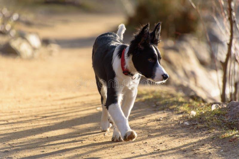 Cachorrinho preto e branco bonito de border collie na montanha imagens de stock royalty free