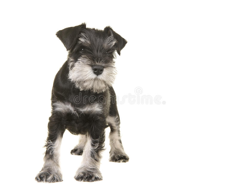 Cachorrinho preto e cinzento ereto do schnauzer que olha afastado foto de stock