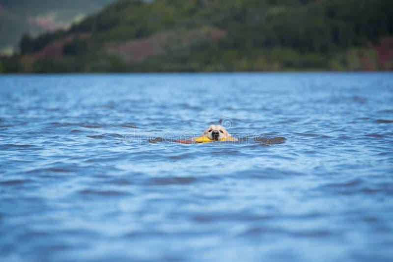 Cachorrinho puro da fêmea da raça do cão do golden retriever de Labrador imagens de stock