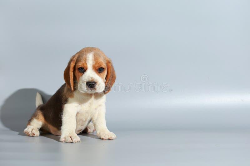 cachorrinho puro do lebreiro da raça de 1 mês fotografia de stock royalty free