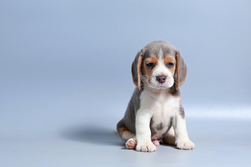 cachorrinho puro do lebreiro da raça de 1 mês foto de stock royalty free