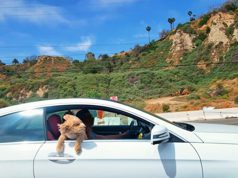 Cachorrinho que cola sua maneira principal para fora no vento em uma estrada da Costa do Pacífico da viagem para baixo em Santa M imagens de stock