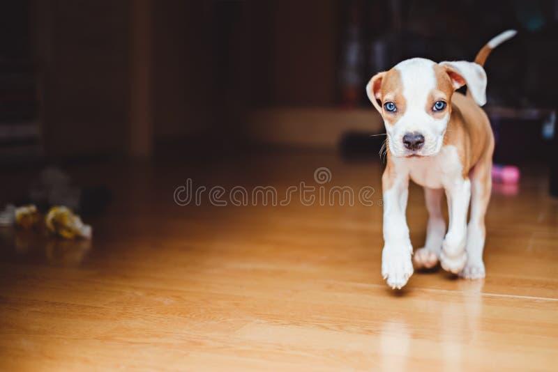 Cachorrinho que corre na casa fotografia de stock royalty free