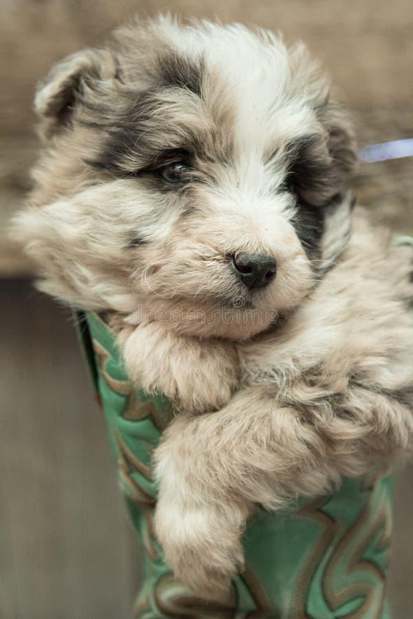 Cachorrinho que descansa dentro da bota de vaqueiro fotografia de stock royalty free