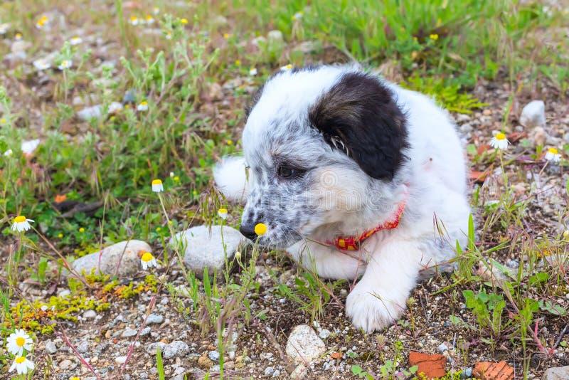 Cachorrinho que encontra-se na grama, fim acima do retrato imagens de stock