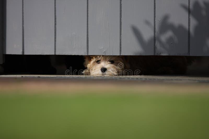 Cachorrinho que espreita para fora sob a porta fotos de stock royalty free