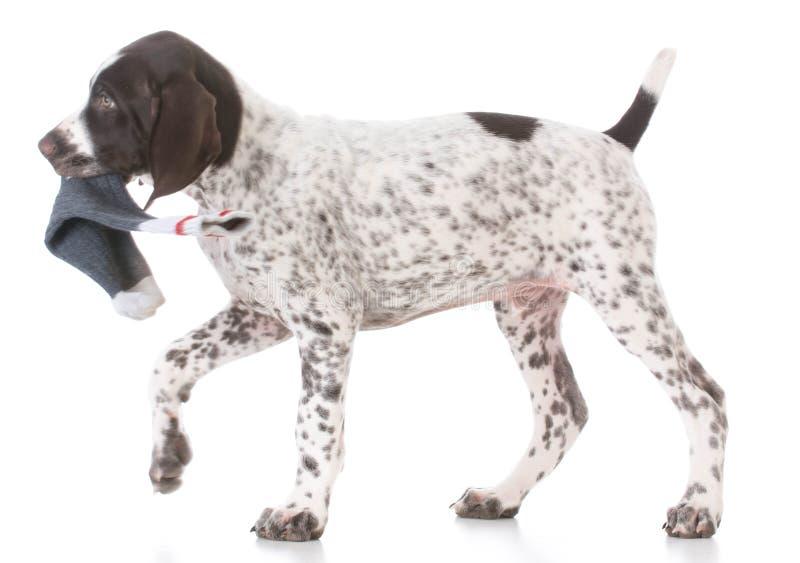 cachorrinho que mastiga em peúgas fotografia de stock royalty free