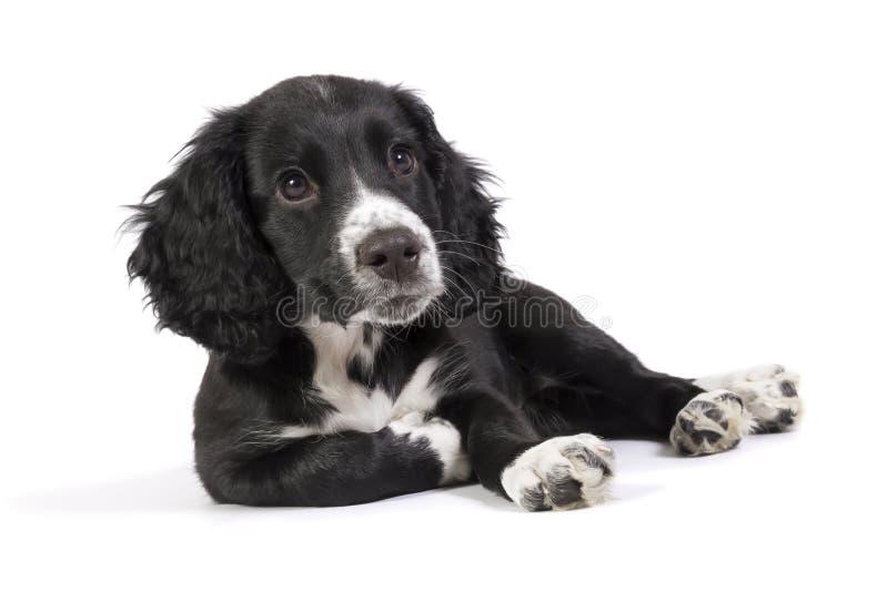 Cachorrinho relaxado bonito do spaniel imagem de stock