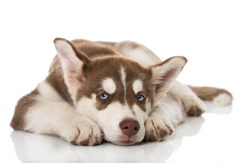 Cachorrinho ronco do sibiran cansado no fundo branco fotografia de stock