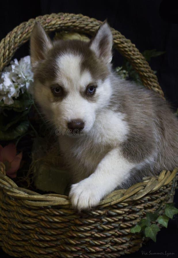 Cachorrinho ronco em uma cesta da flor fotografia de stock royalty free