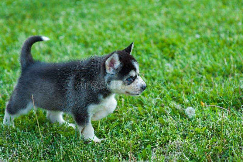 Cachorrinho ronco preto que anda através da grama fotografia de stock