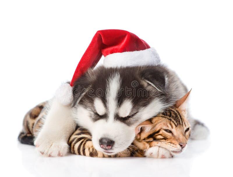 Cachorrinho ronco Siberian do sono no gatinho do abraço bengal do chapéu de Santa No fundo branco fotografia de stock royalty free