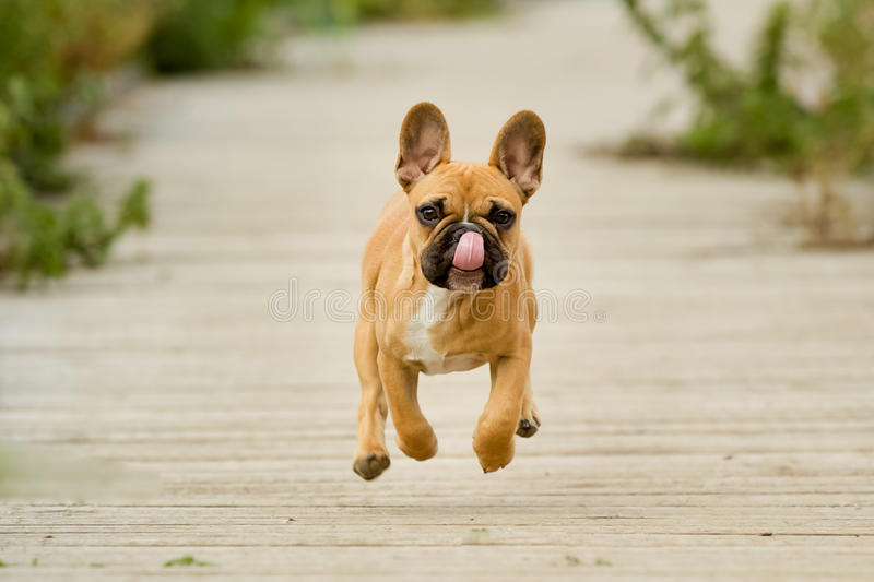 Cachorrinho running do buldogue francês fotografia de stock royalty free