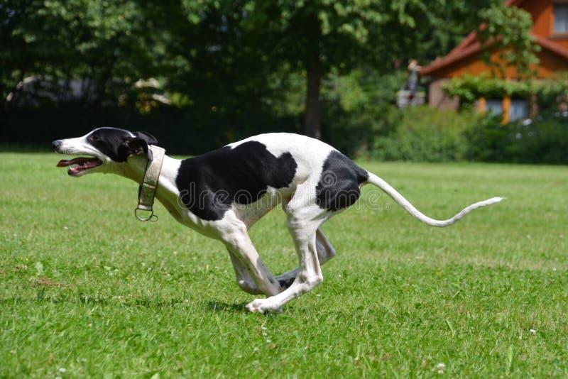 Cachorrinho running do galgo imagem de stock royalty free