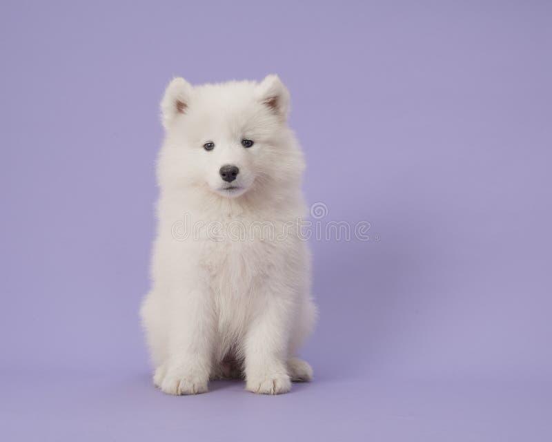 Cachorrinho somoyed bonito que senta-se em um fundo roxo imagens de stock royalty free