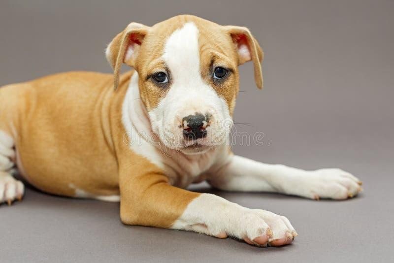 Cachorrinho Staffordshire Terrier fotografia de stock royalty free