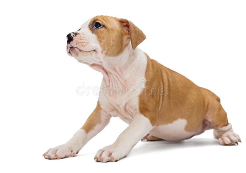 Cachorrinho Staffordshire Terrier fotografia de stock