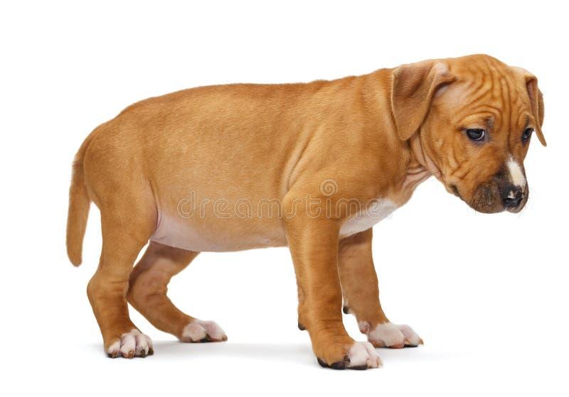 Cachorrinho Staffordshire Terrier foto de stock