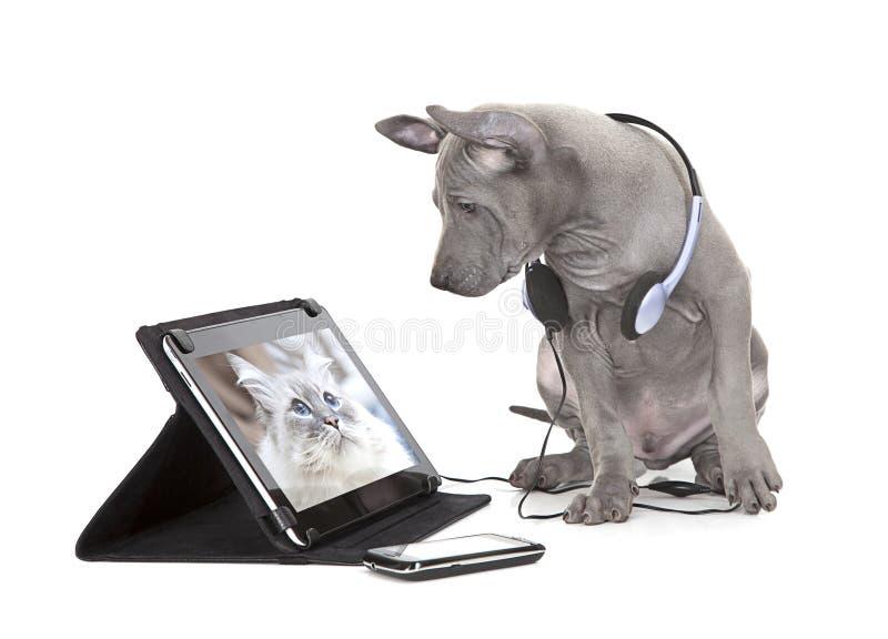 Cachorrinho tailandês do ridgeback com tablet pc fotos de stock royalty free