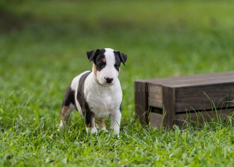 Cachorrinho Tricolor de bull terrier que está a caixa próxima fotos de stock