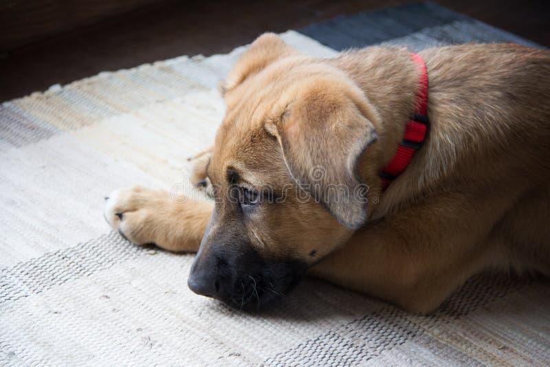 Cachorrinho triste do pastor alemão imagens de stock